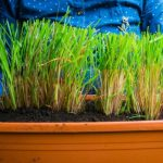 Growing Lemongrass Easily at Home